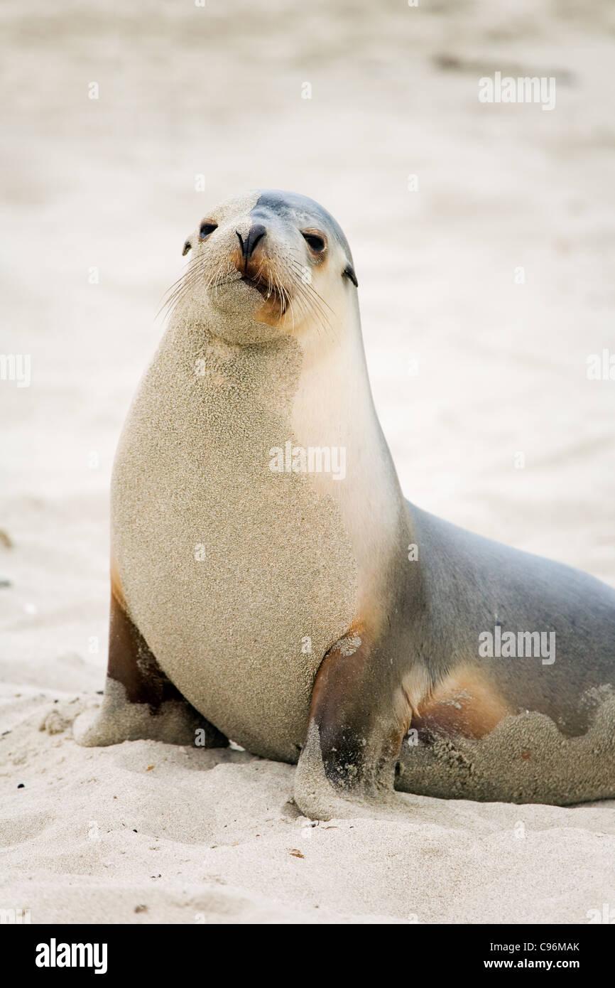 Australian sea lion at Seal Bay Conservation Park.  Kangaroo Island, South Australia, Australia - Stock Image