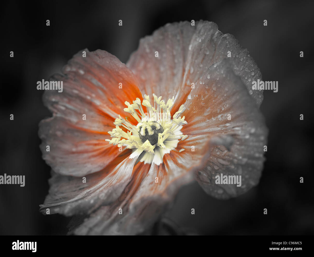 Poppy flower stock photos poppy flower stock images alamy close up of poppy flower after rain oregon stock image mightylinksfo