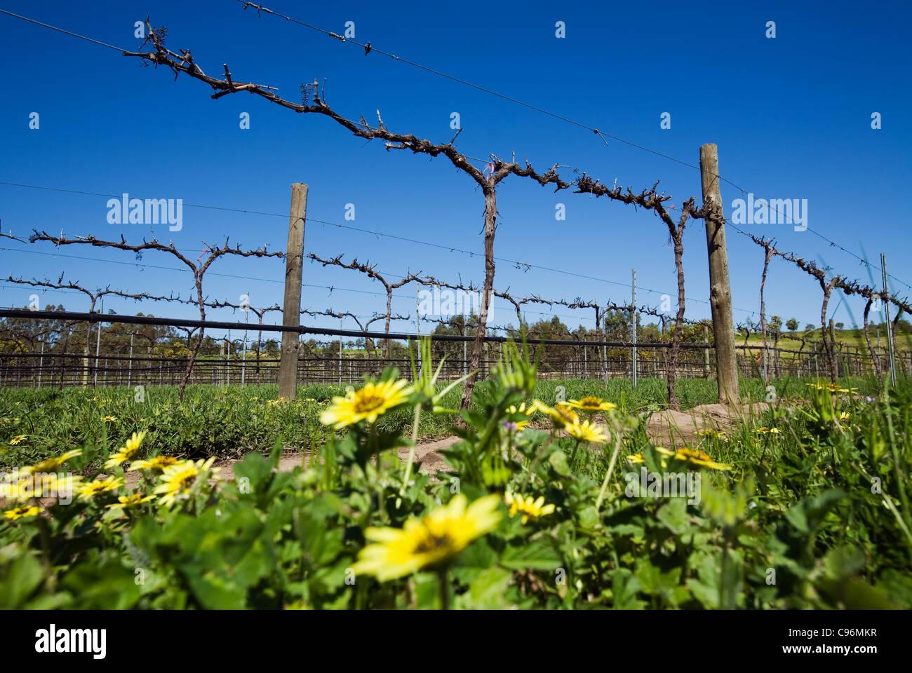 Vineyard in the renowned Barossa Valley wine region, close to Adelaide. Barossa Valley, South Australia, Australia Stock Photo