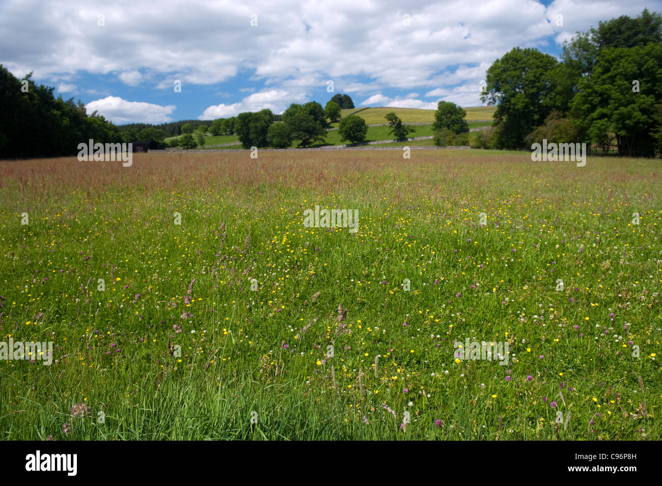 Traditional hay meadow with wildflowers in ready for cutting. Upper Teesdale, UK. - Stock Image
