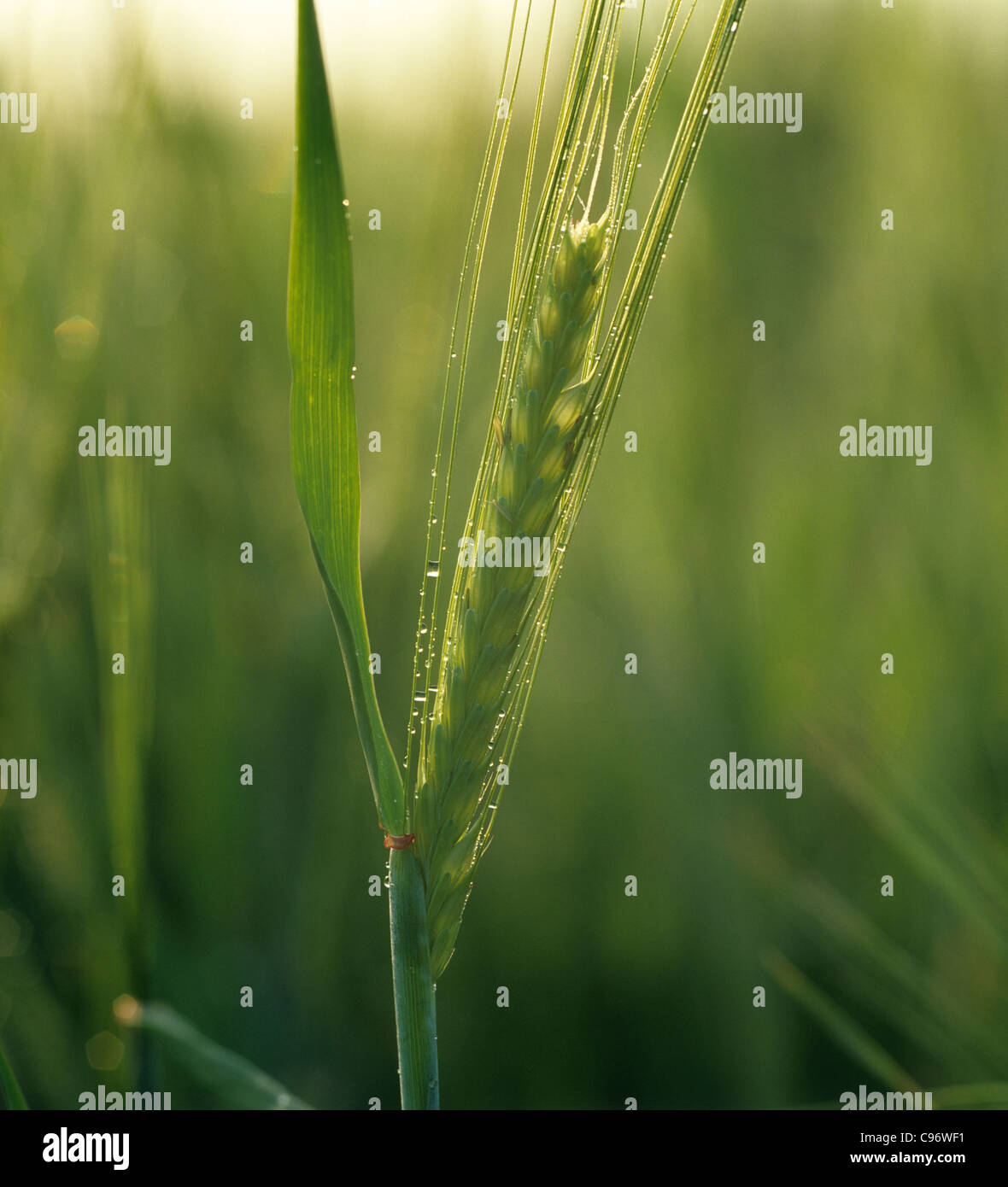 Early morning backlit young barley ear with dew droplets - Stock Image