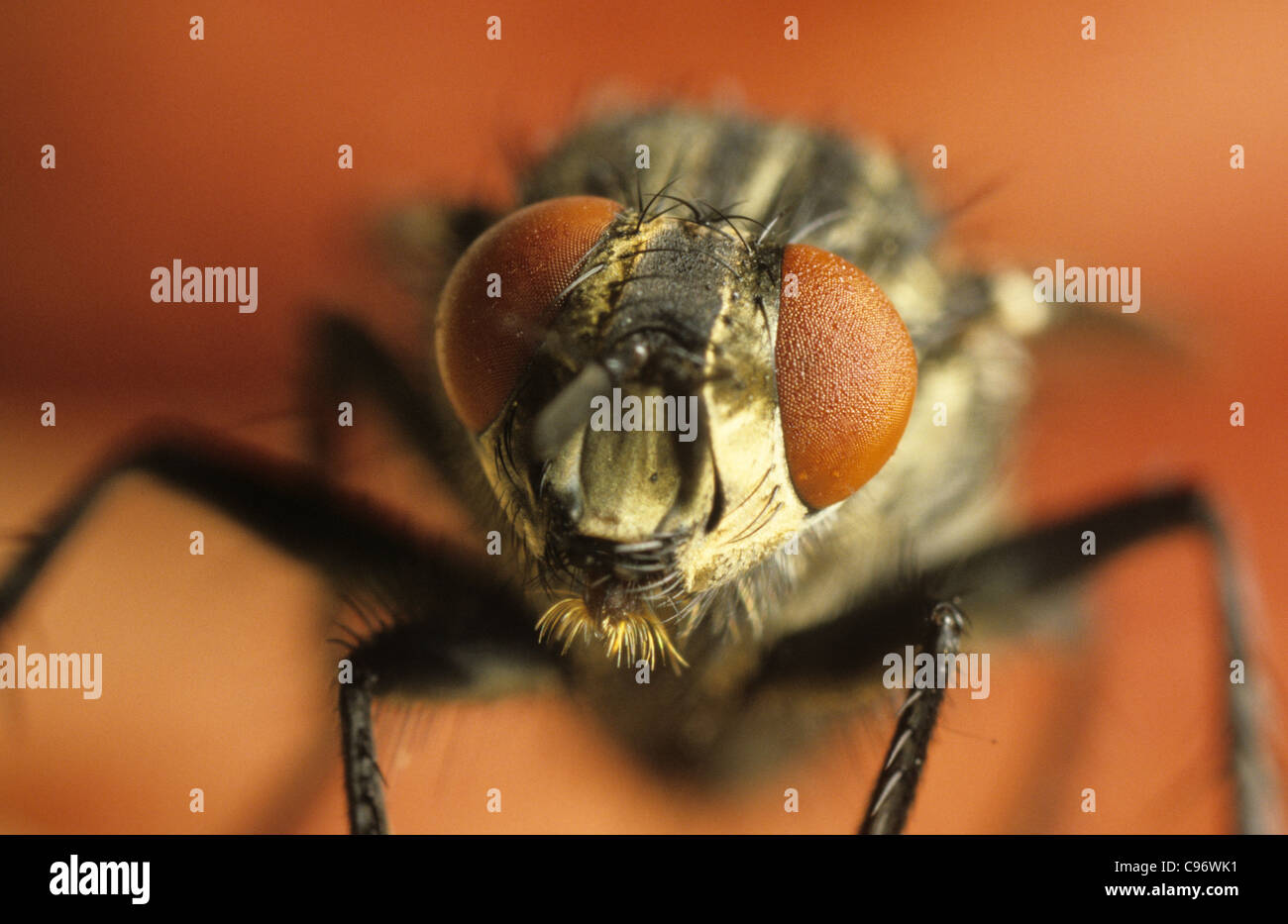 Head of a common house fly (Musca domestica) showing compound eyes - Stock Image