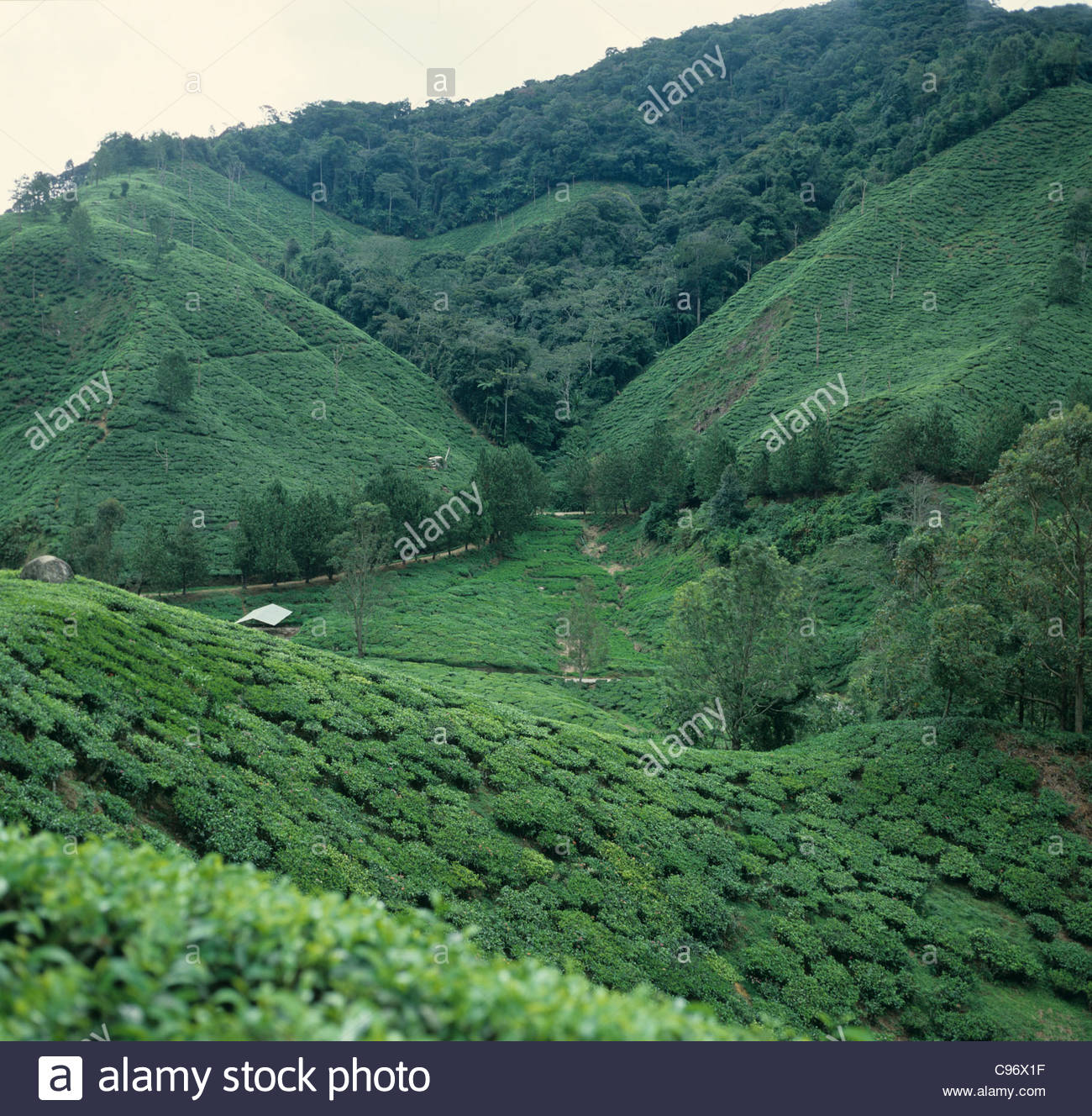 Tea estates in the Cameron Highlands of Malaysia on a sultry overcast day - Stock Image