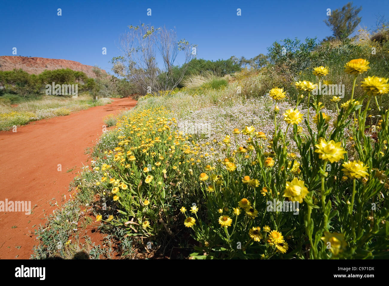Desert flower central australia stock photos desert flower central wildflowers in the alice springs desert park alice springs northern territory australia mightylinksfo