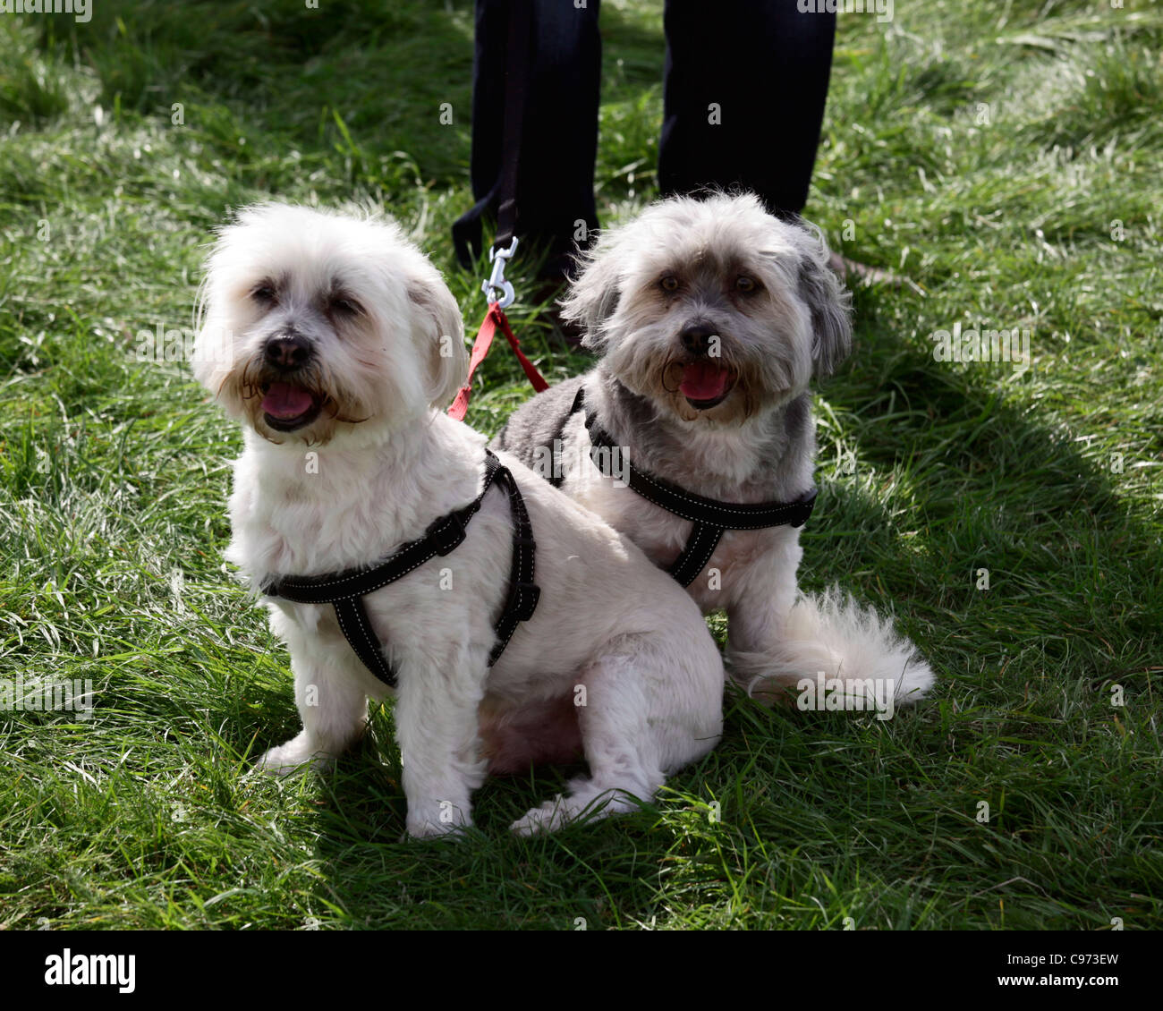 Pair of small dogs at agricultural show - Stock Image
