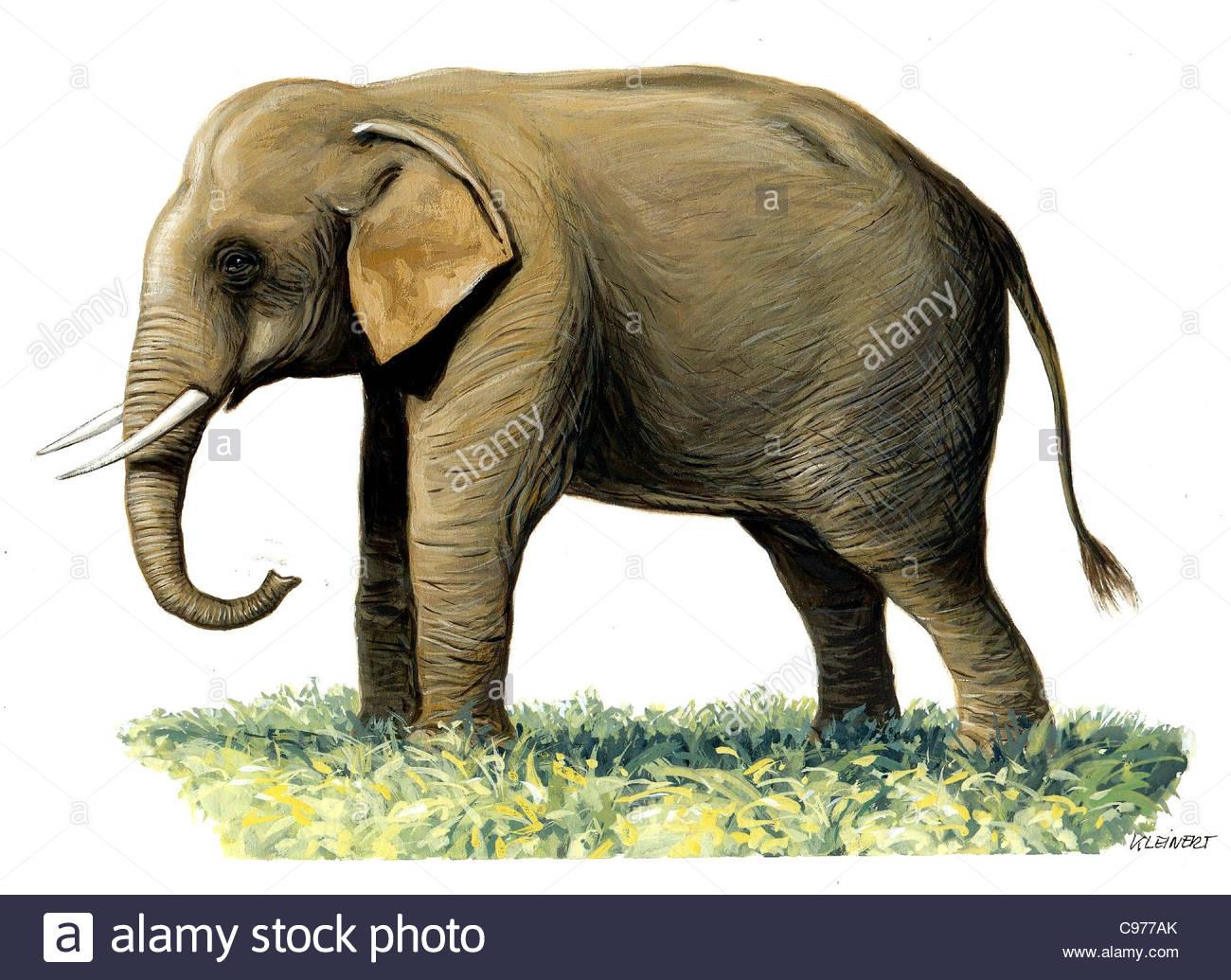 Sumatran elephant Elephas maximus sumatranus Series - Stock Image