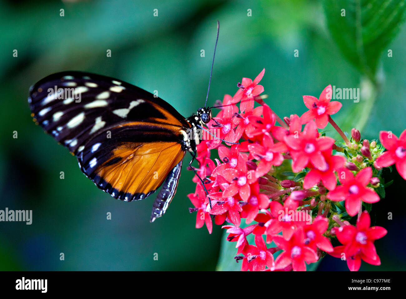 Hecale's Longwing (Heliconius hecale) Butterfly feeding on nectar - Stock Image