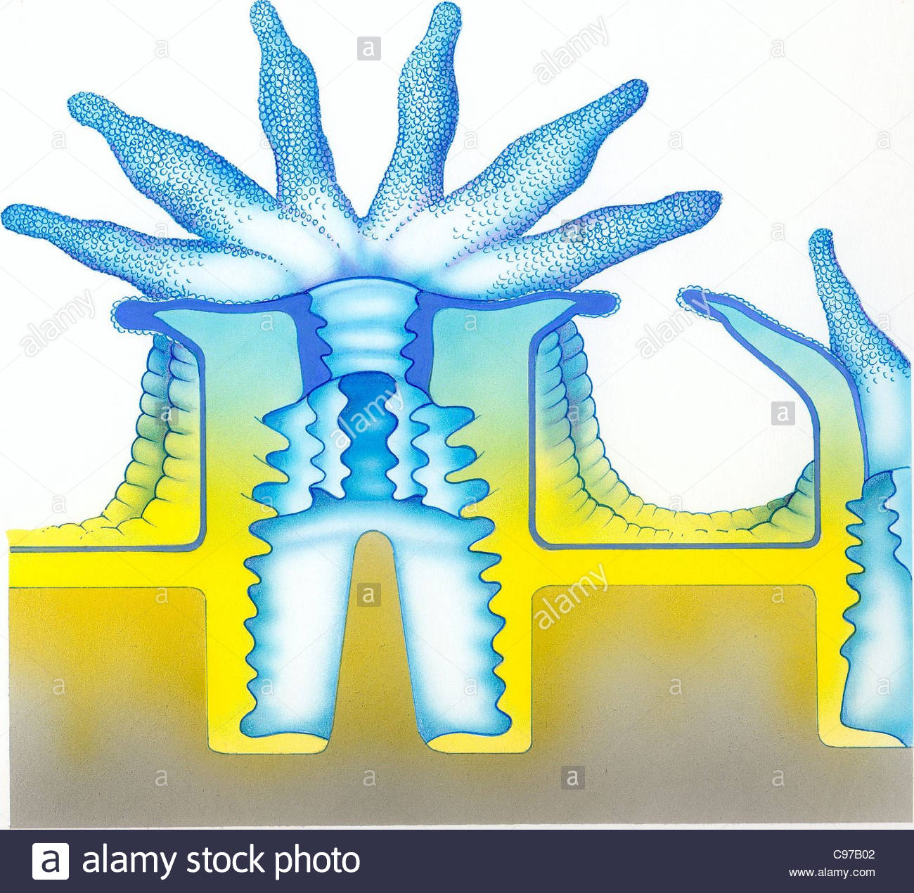 Coral Anatomy Stock Photo 40114930 Alamy