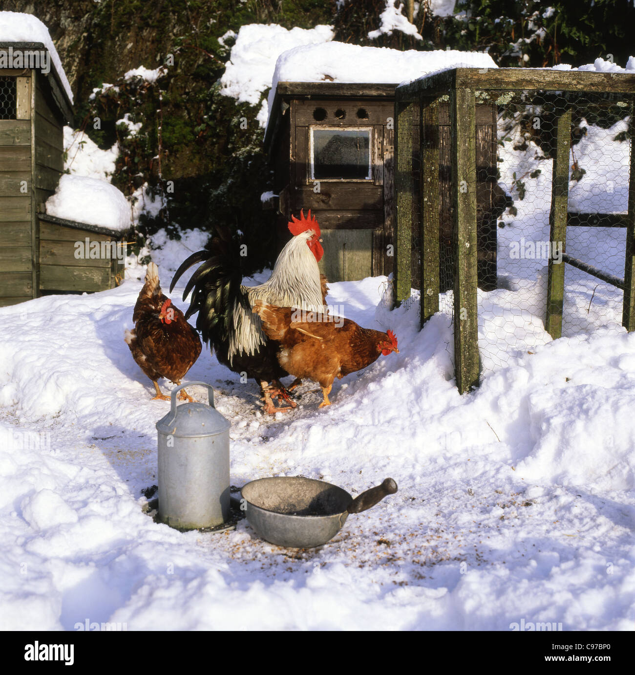 A cockerel and hens chickens pecking for food in the snow in winter Carmarthenshire Wales UK KATHY DEWITT - Stock Image