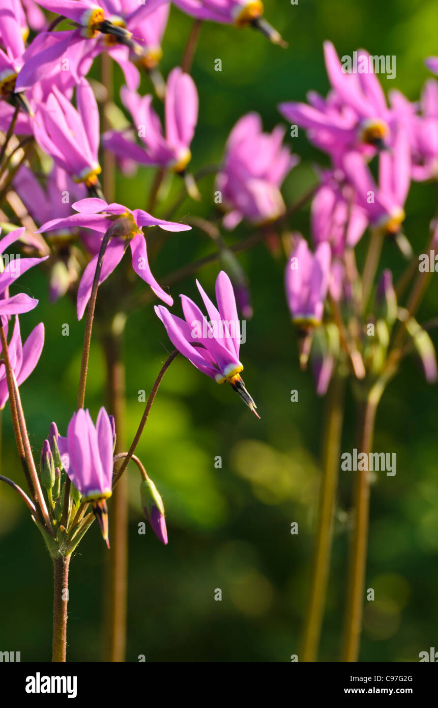 American cowslip (Dodecatheon meadia) - Stock Image