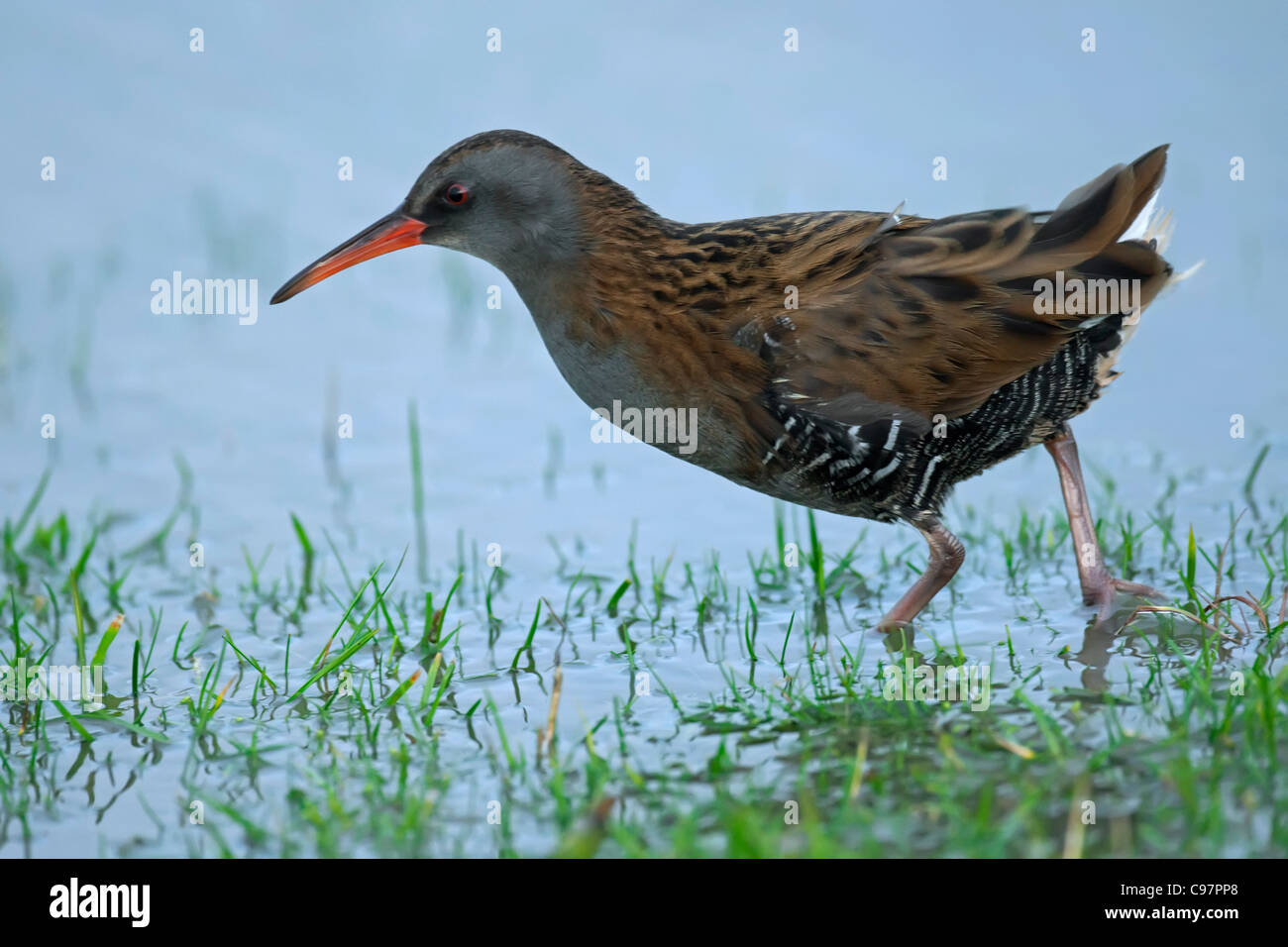 Water rail (Rallus aquaticus) on bank in winter, the Netherlands - Stock Image