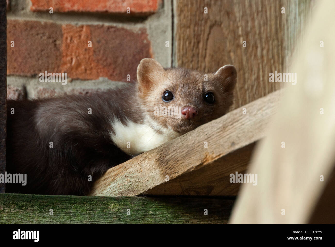 Beech marten (Martes foina) in attic of farm house, Germany - Stock Image
