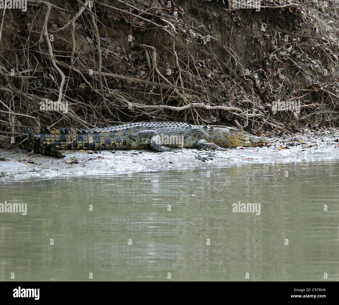 Salt water crocodile resting under cover on the banks of the East Alligator River, Kakadu, Top End, Northern Territory, Stock Photo