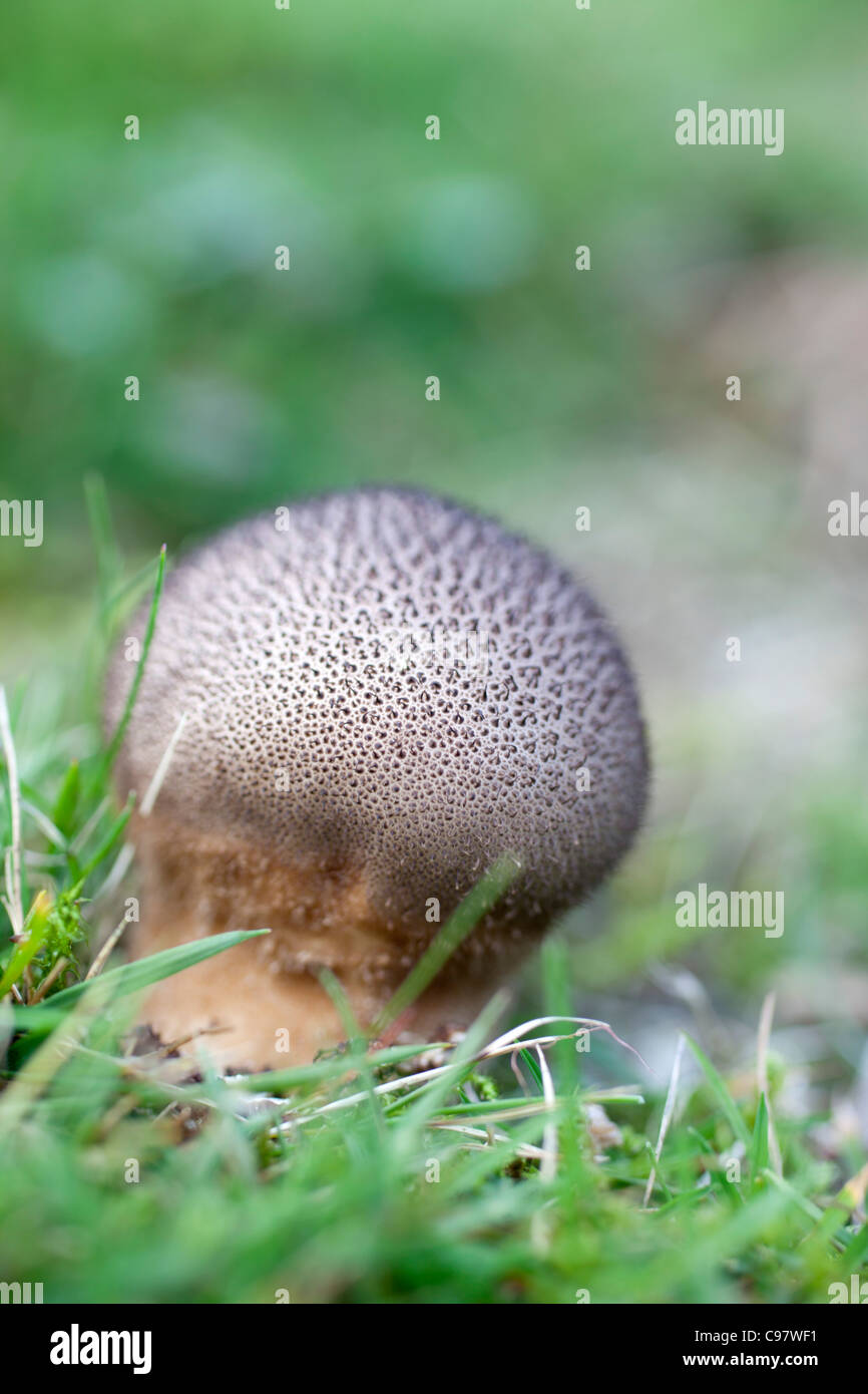 Scaly Meadow Puffball; Hankea utriformis; fungus; Cornwall; UK - Stock Image