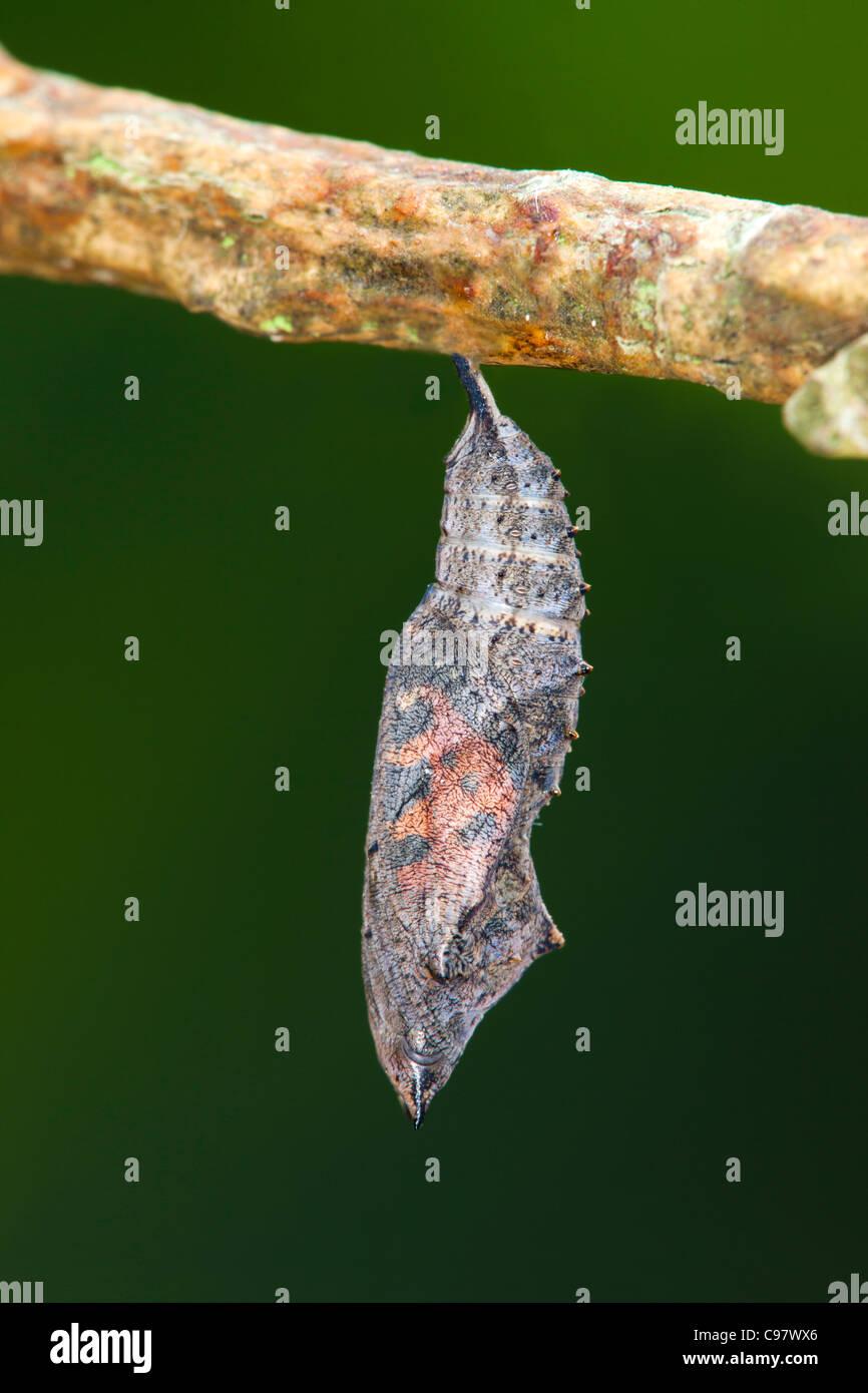 Small Tortoiseshell Butterfly Chrysalis; Aglais urticae; UK - Stock Image