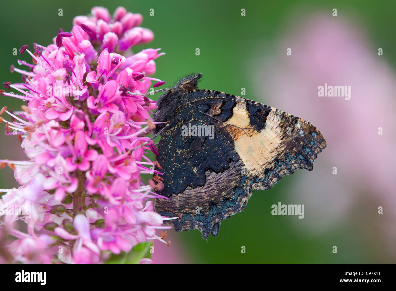 Small Tortoiseshell Butterfly; Aglais urticae; UK; on hebe flower - Stock Image