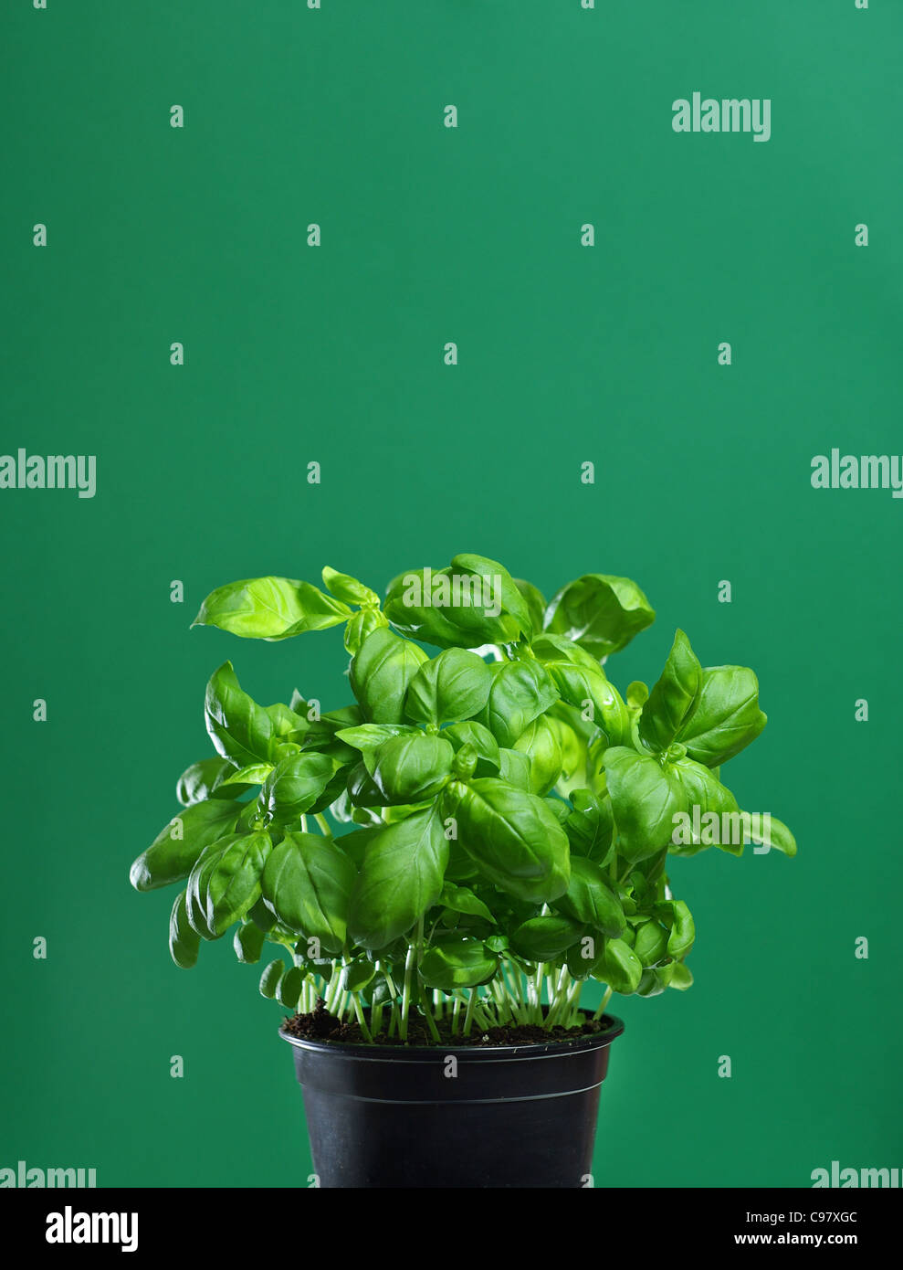 Fresh basil in a black pot on a green background - Stock Image
