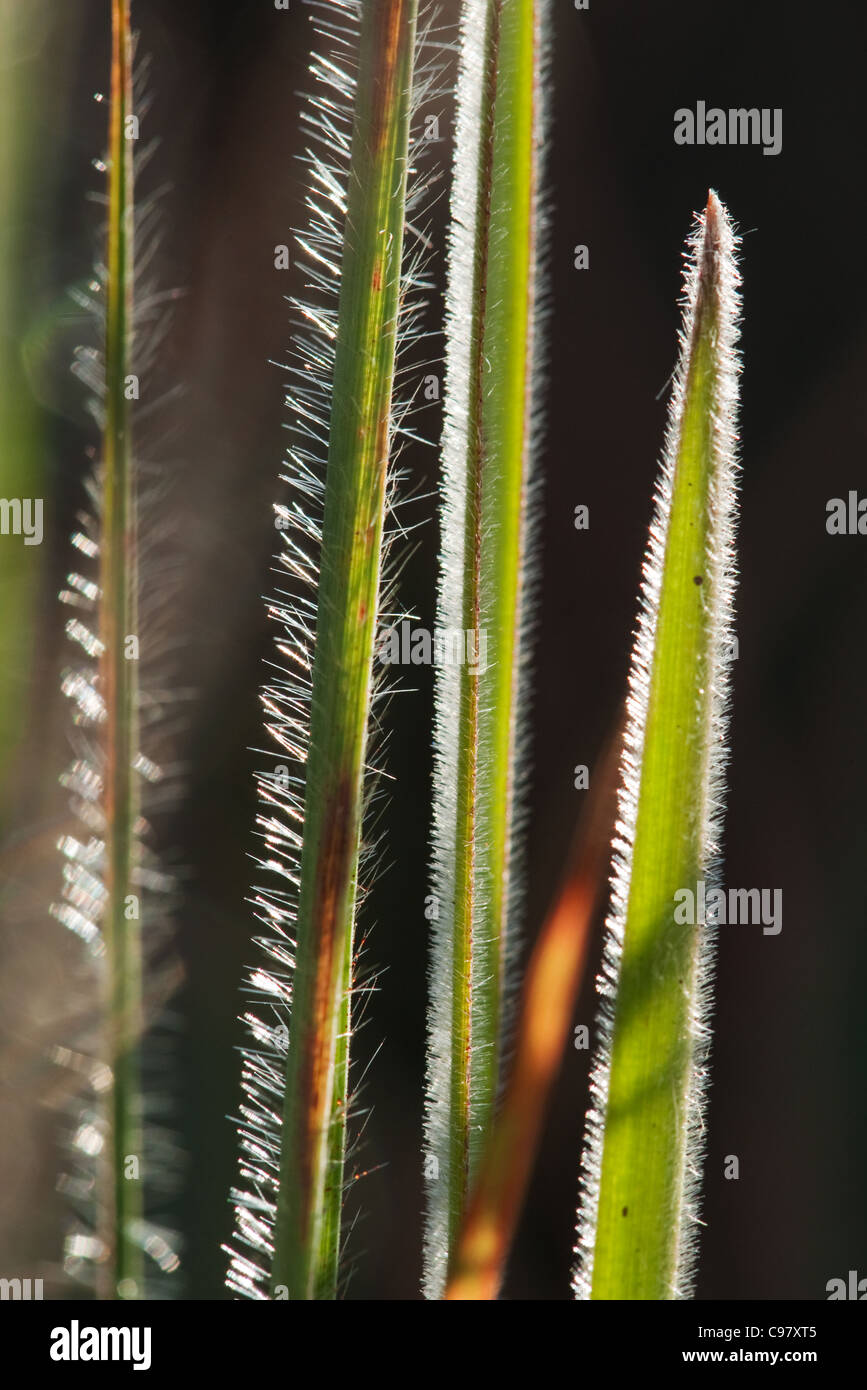 Close-up of long hairy leaves backlit by sun - Stock Image