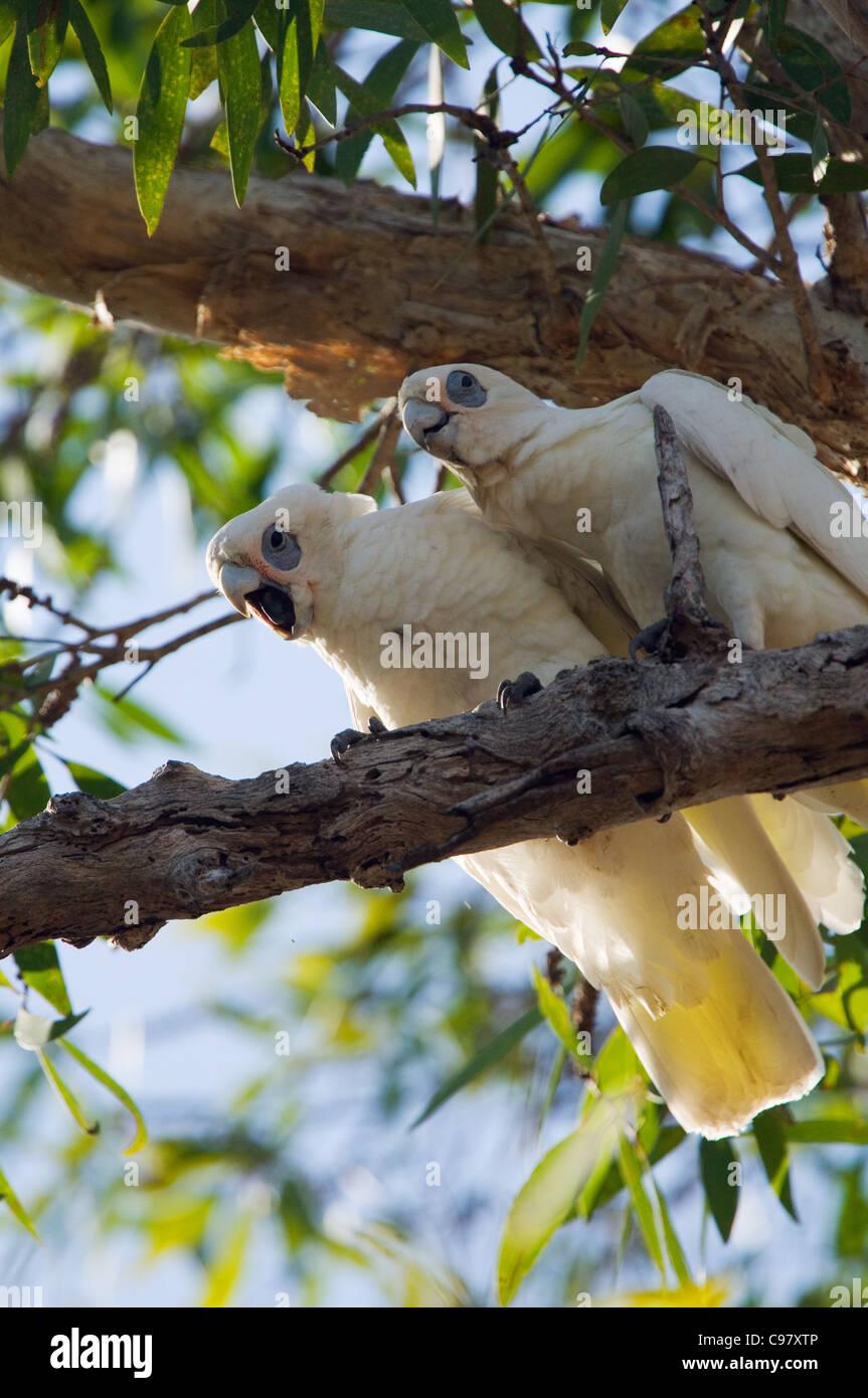 Little Corellas (Cacatua sanguinea).  Kakadu National Park, Northern Territory, Australia Stock Photo