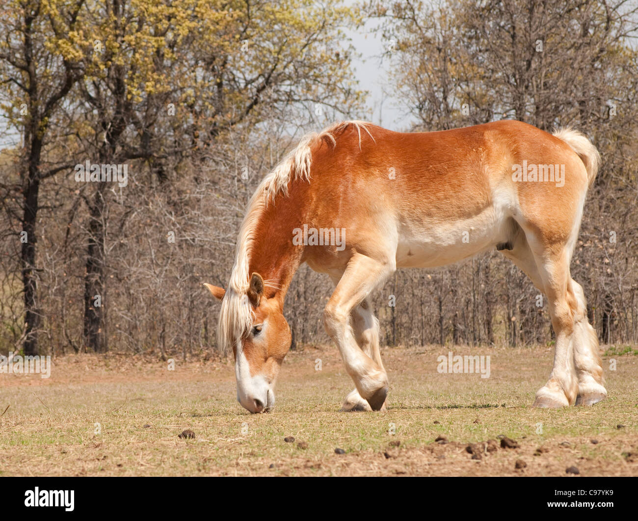 Belgian Draft horse nibbling on emerging spring grass in pasture - Stock Image