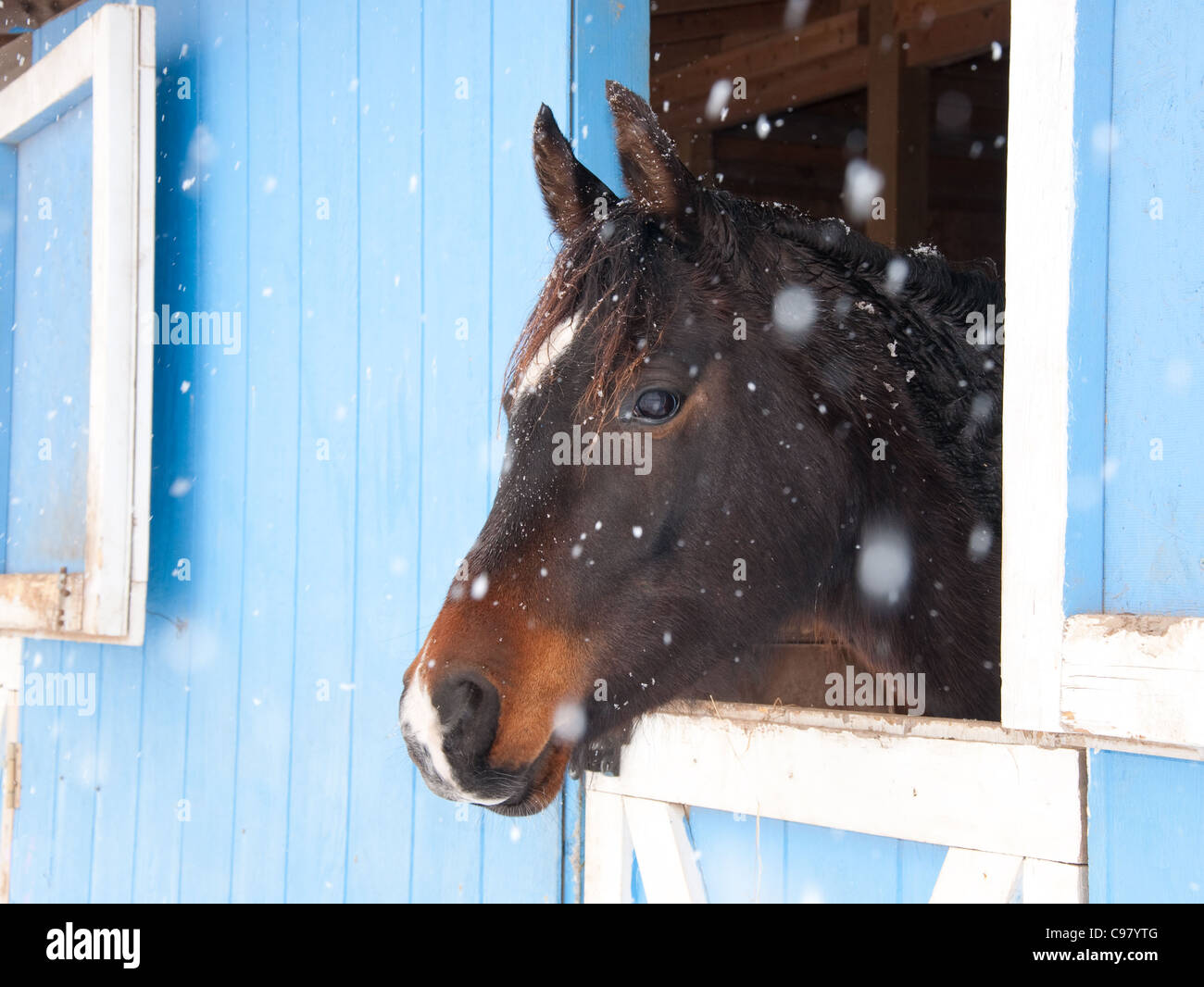 Dark bay Arabian horse looking out of a blue barn in heavy snow fall - Stock Image