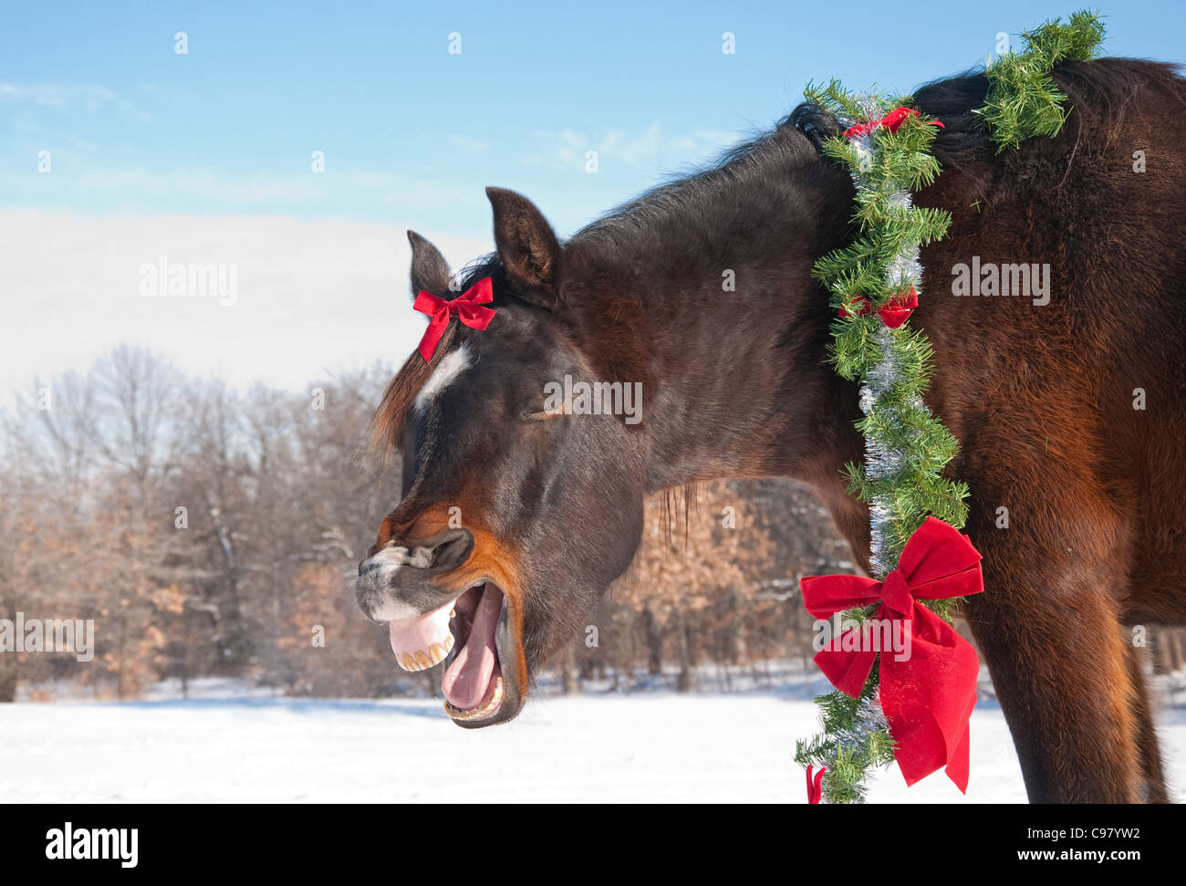 Comical image of a dark bay horse yawning while wearing a bright Christmas wreath and a bow with winter background - Stock Image