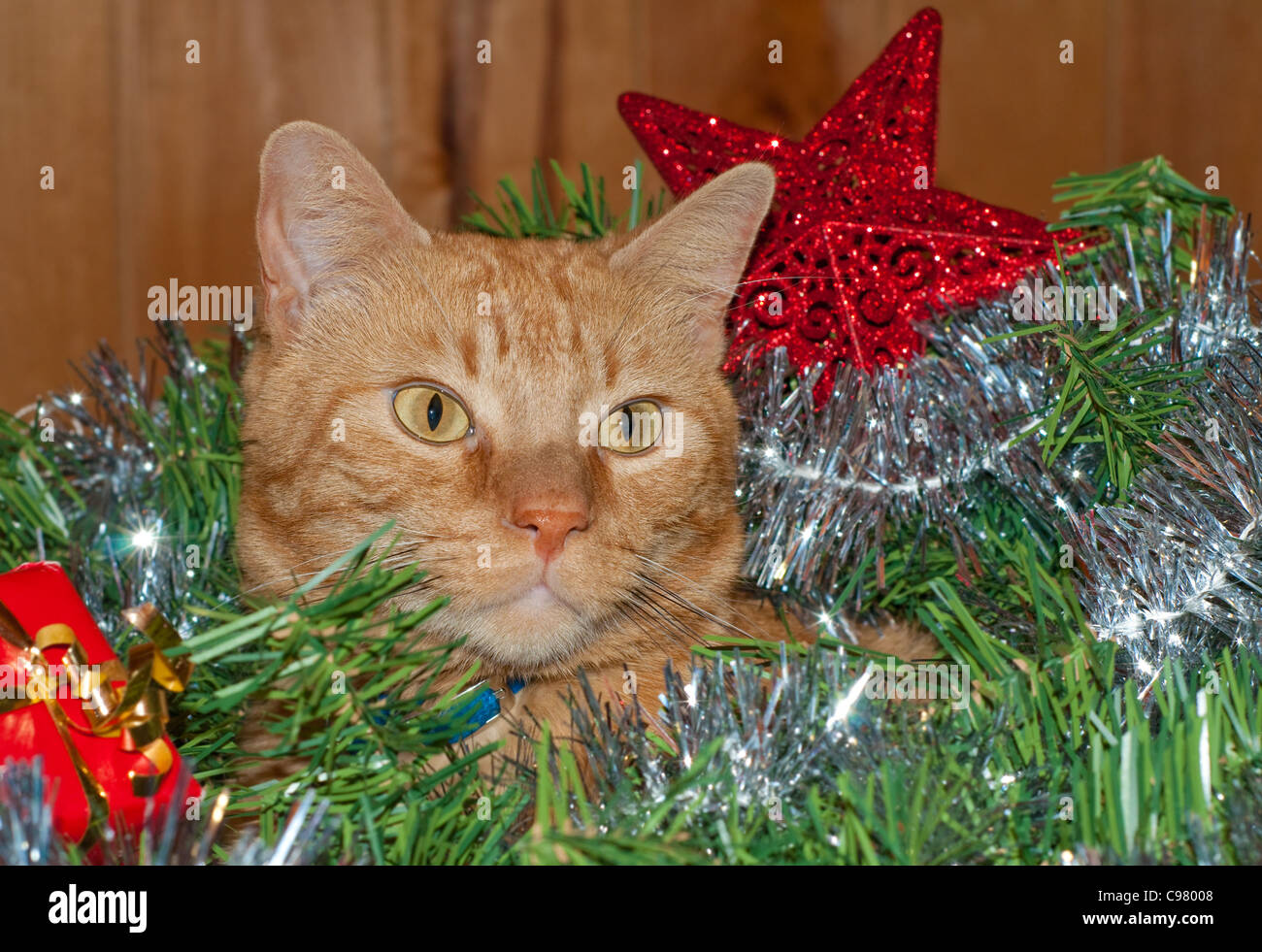 beautiful orange tabby kitty cat inside a christmas wreath with decorations around him stock