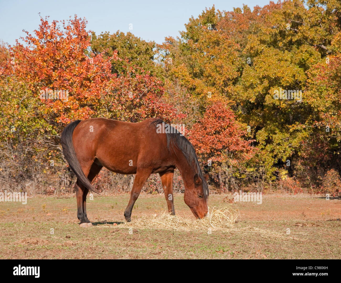 Red bay horse eating hay in fall pasture - Stock Image