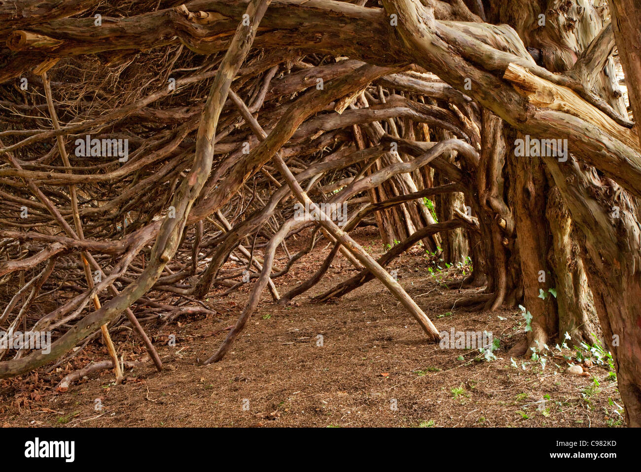 Ancient Yew hedge - Stock Image