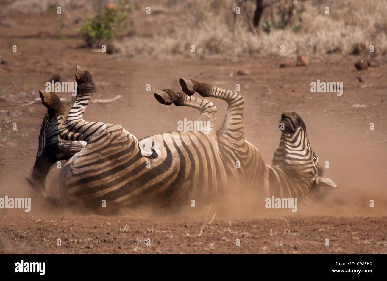 Zebra rolling in the dust - Stock Image