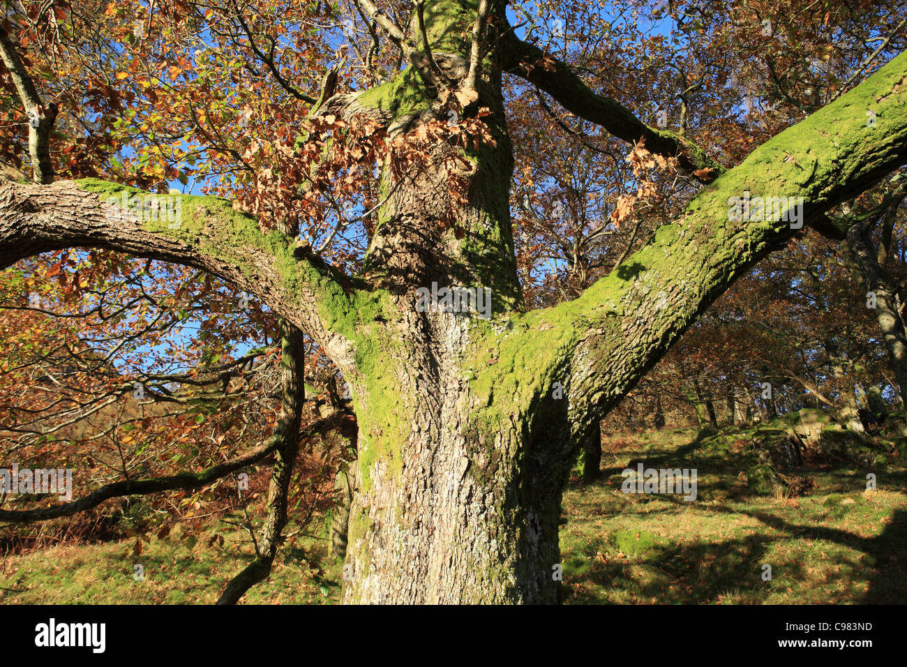 Old moss covered tree looking like a human torso English Lake District, Cumbria, UK - Stock Image