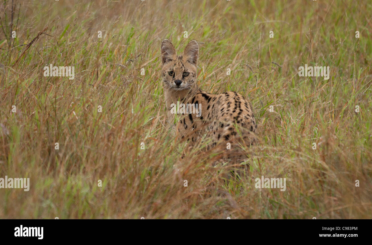 Serval standing in long grass - Stock Image