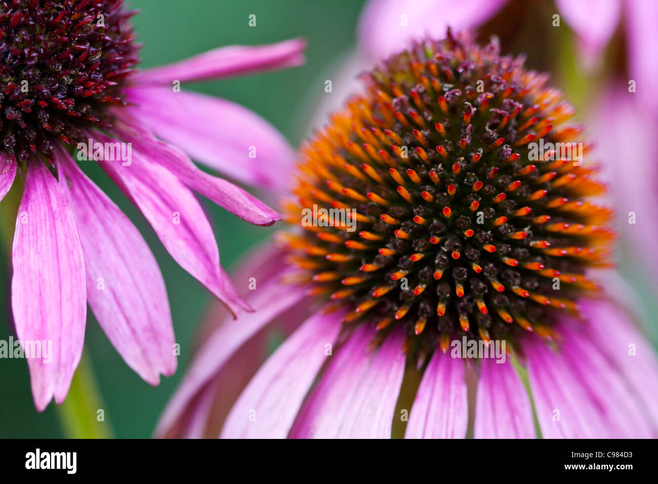 Close-up of Purple Cone Flower (Echinacea) head and petals - Stock Image