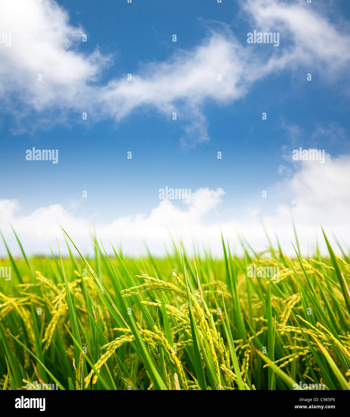 paddy rice field with cloud background - Stock Image