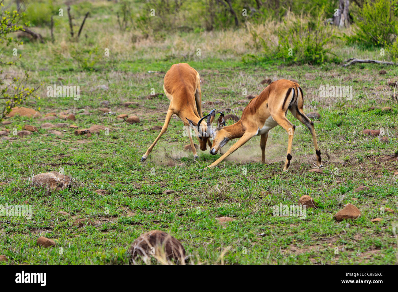 Impala 'Aepyceros melampus' rams fighting during the mating season. Kruger National Park South Africa. - Stock Image