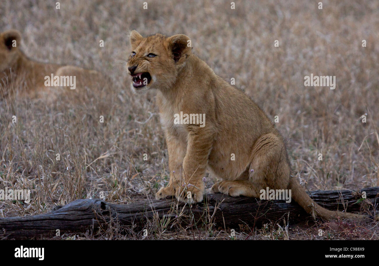 Lion cub sitting on a log snarling - Stock Image