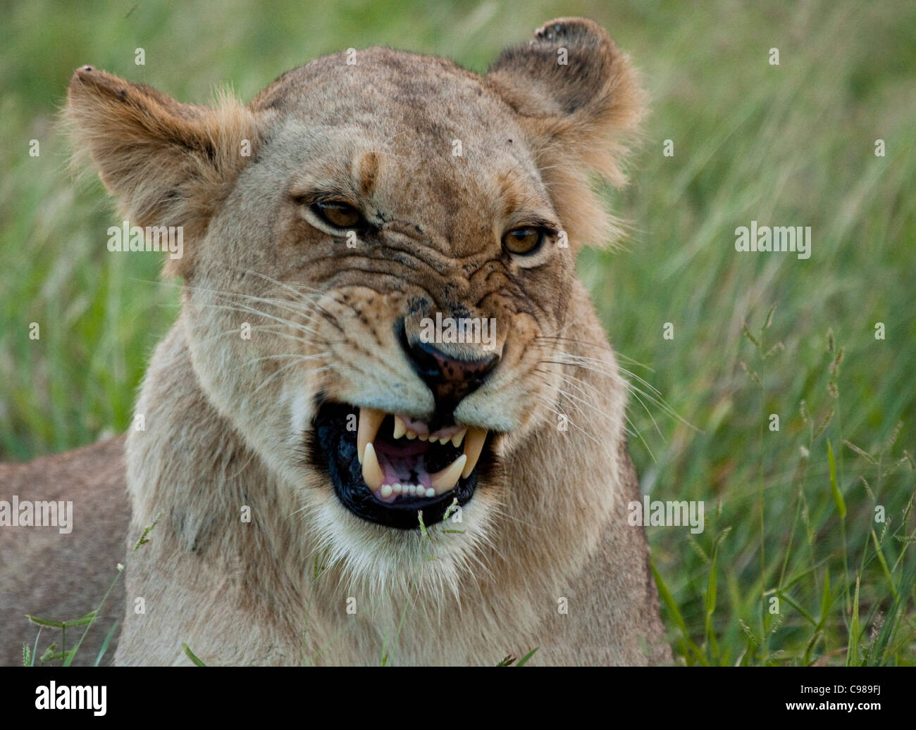 Tight portrait of a lion snarling - Stock Image