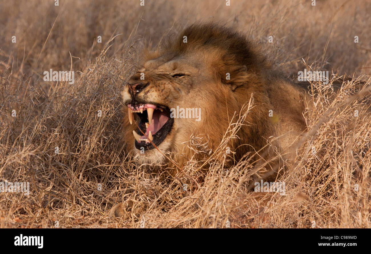Male lion snarling exposing large canines - Stock Image