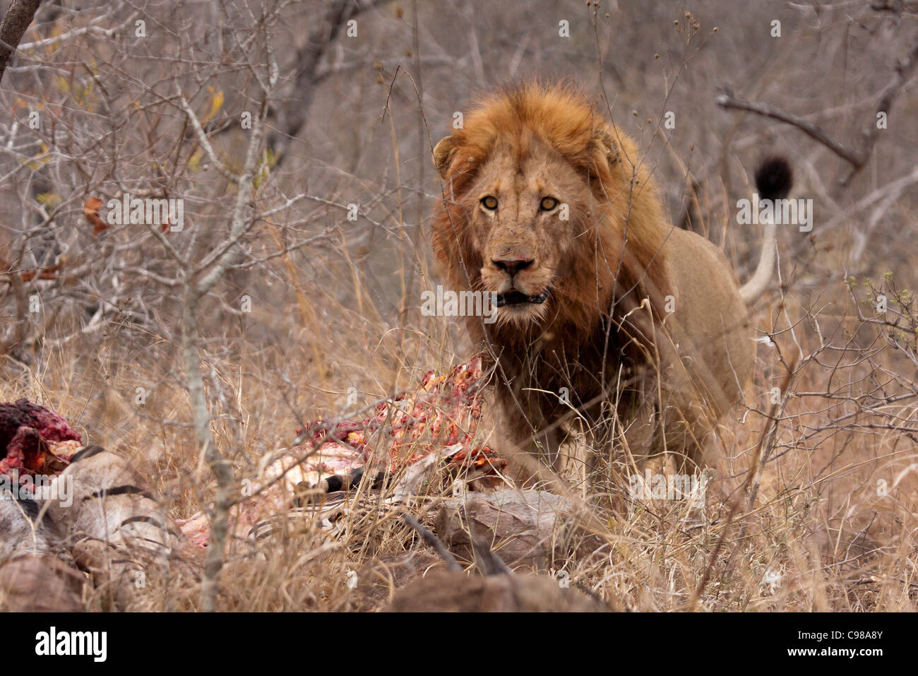 Male Lion in aggressive pose with Zebra kill - Stock Image