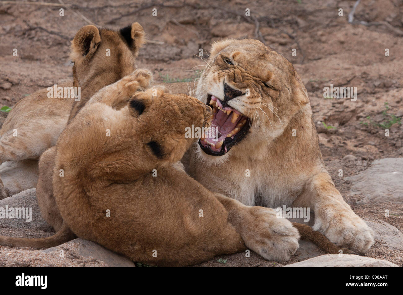 Lioness snarling aggressively at cub - Stock Image
