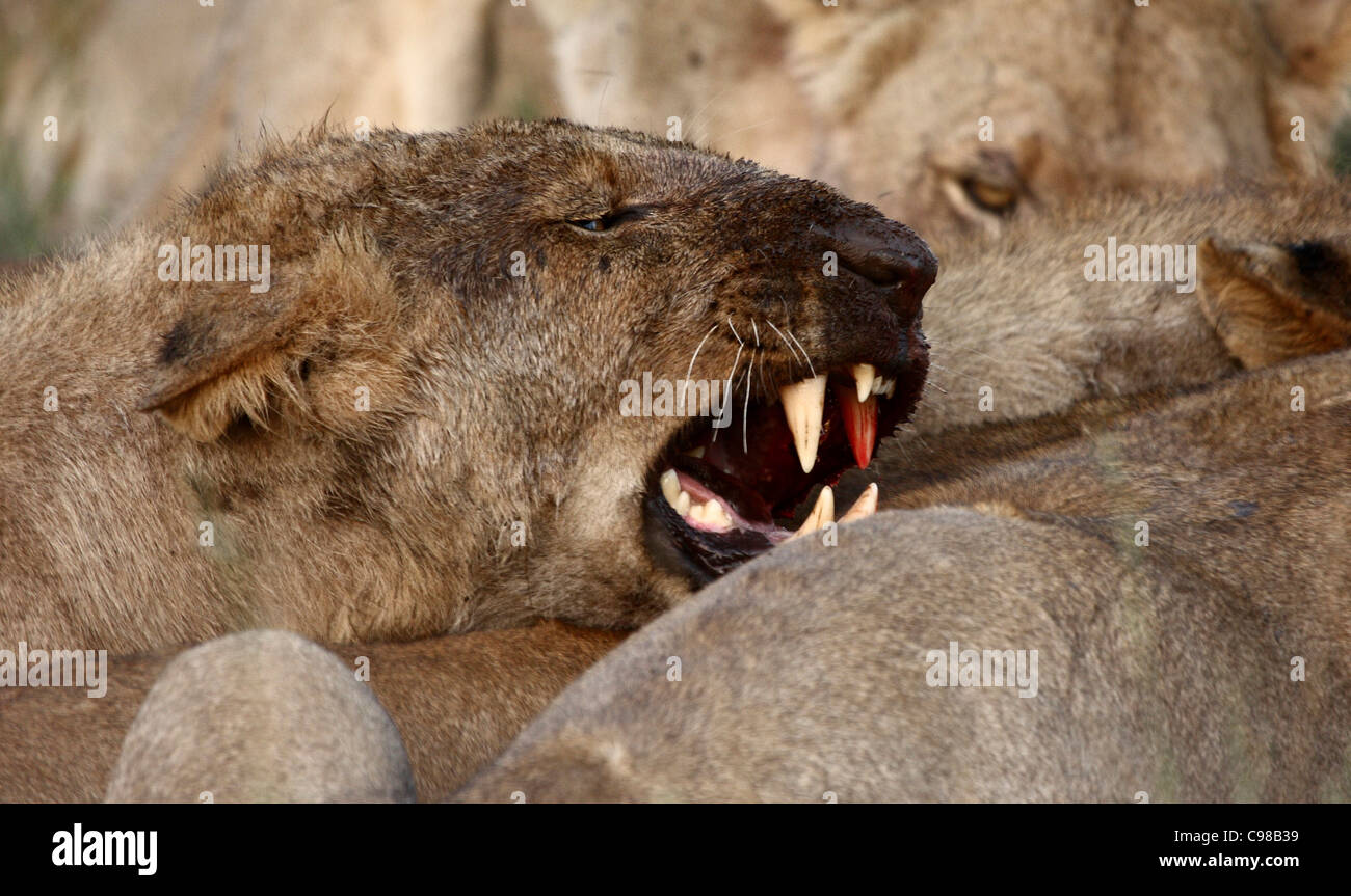 Lioness with bloody face snarling - Stock Image