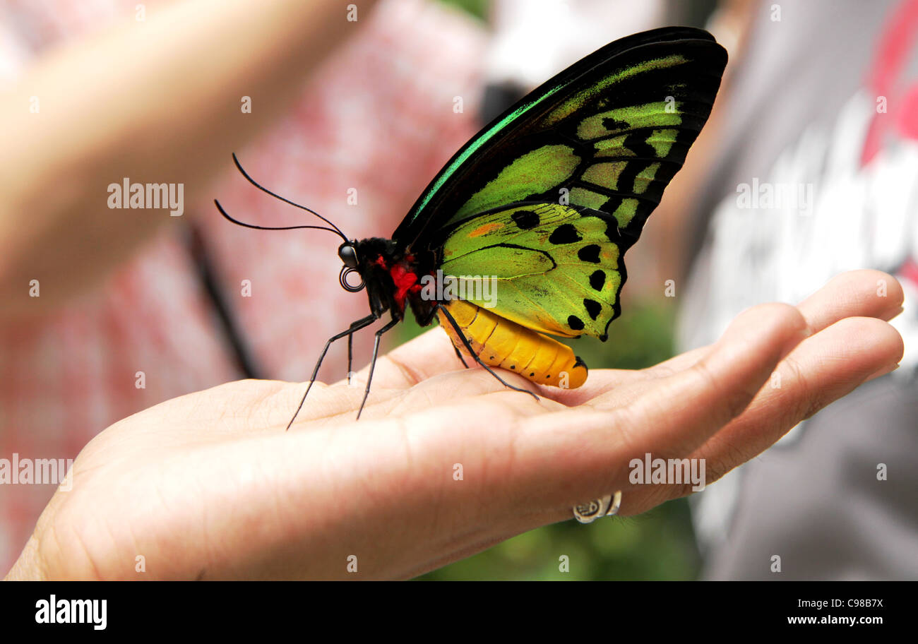 Queen Alexandra's Birdwing (Ornithoptera alexandrae) is the largest butterfly in the world. - Stock Image