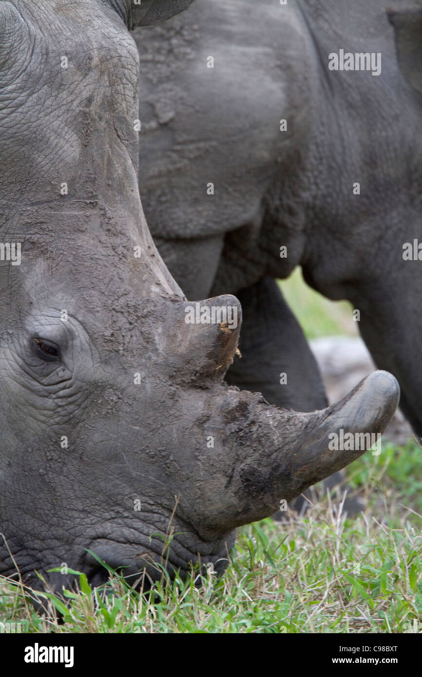 Tight portrait of a white rhino grazing Stock Photo