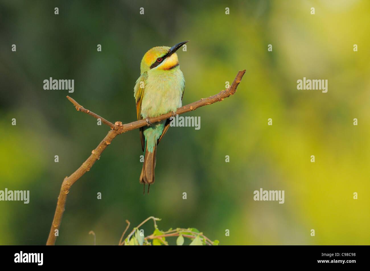 Rainbow Bee-eater Merops ornatus Female Photographed in Queensland, Australia - Stock Image