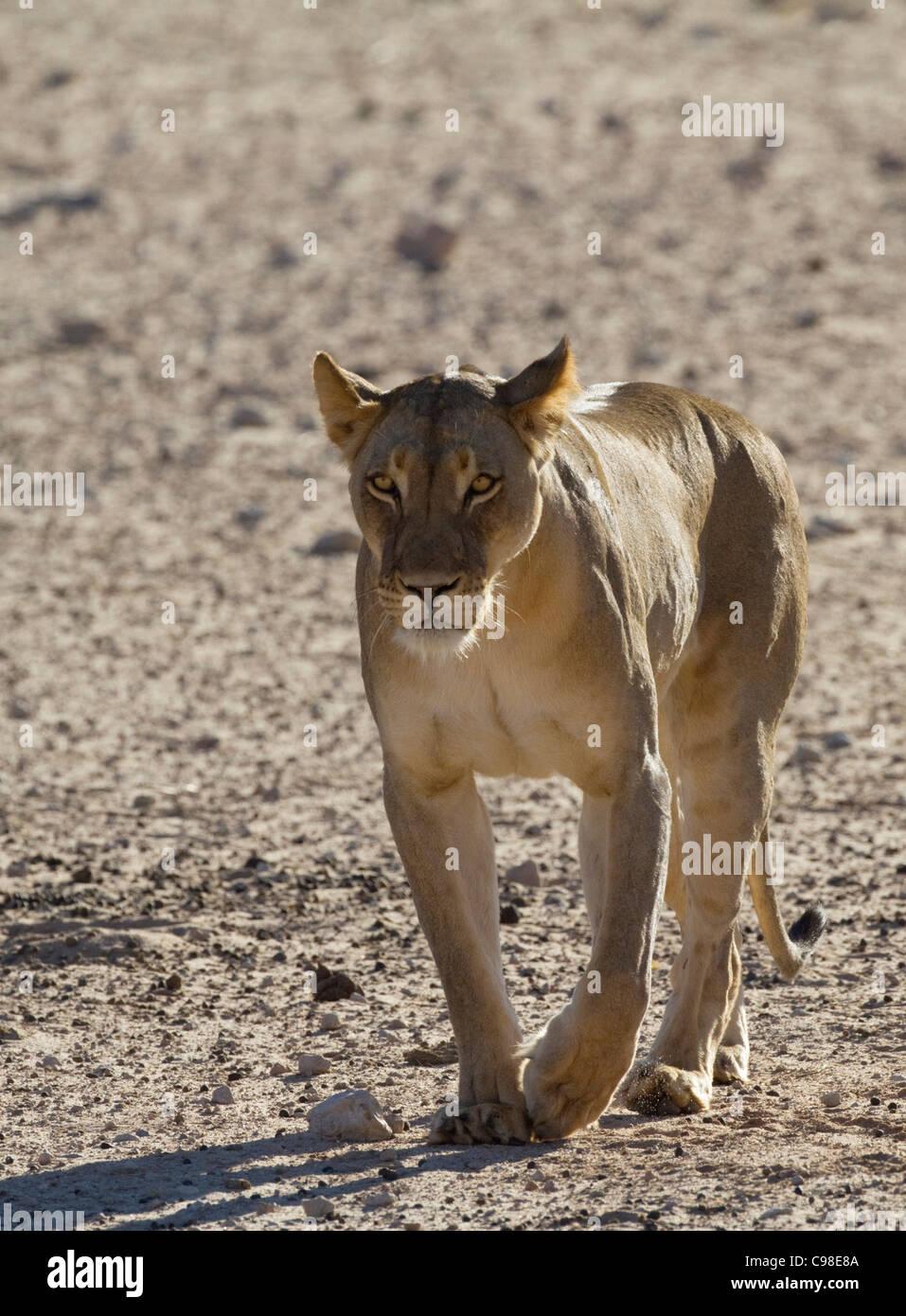 Frontal view of Kalahari lion walking - Stock Image
