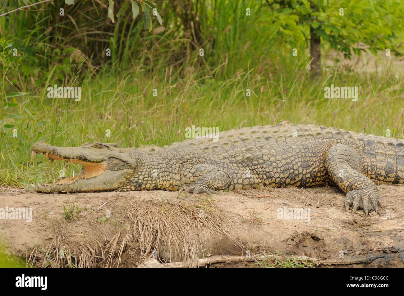 Saltwater (Estuarine) Crocodile, Photographed near Kakadu National Park, Northern Territory, Australia - Stock Image