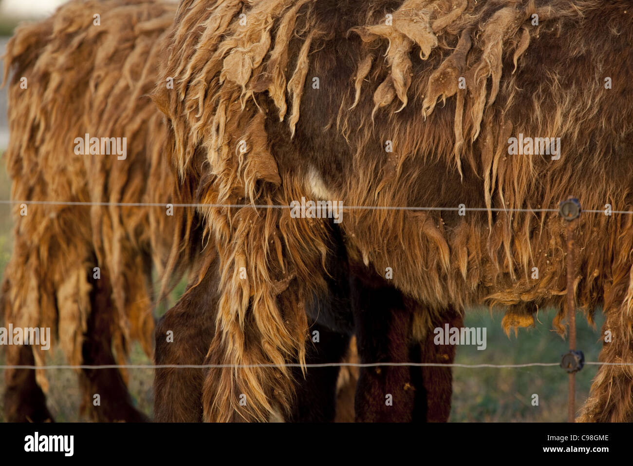 Close up image on the thick matted fur of a donkey on the île de Ré, France. - Stock Image