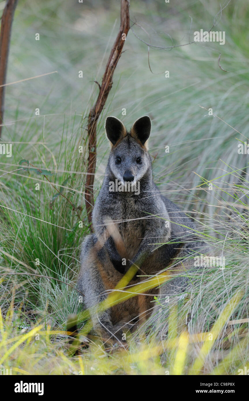 Swamp Wallaby Wallabia bicolor Photographed in ACT, Australia Stock Photo