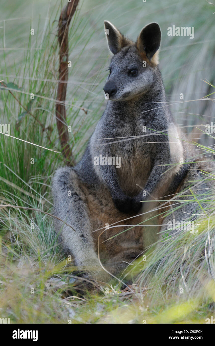 Swamp Wallaby Wallabia bicolor Photographed in ACT Australia Stock Photo