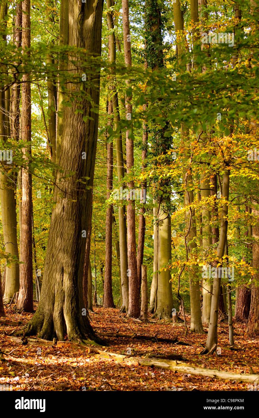 Autumnal woods,Turville,Chiltern Hills,Buckinghamshire - Stock Image